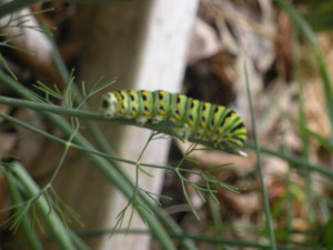 Swallowtail butterfly larvae on Dill weed