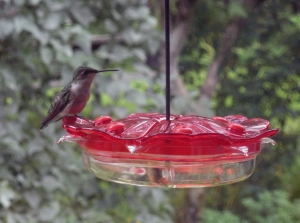 Ruby Throated Humming Bird, female