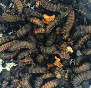Soldier Fly Larvae