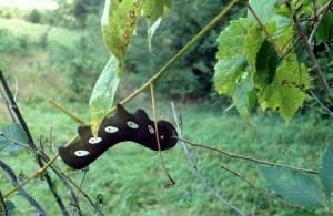 Eumorpha pandorus caterpillar